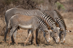 FAMILY OF ZEBRAS