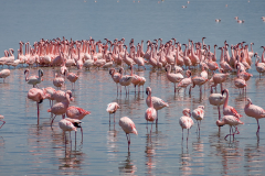 FLAMINGOS OF LAKE NAKURU
