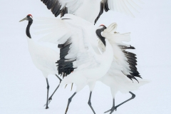 RED CROWNED CRANES I