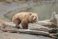 Bear On A Log