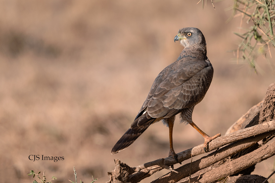 African Groshawk