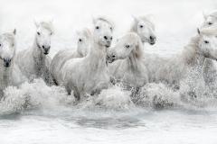 WHITE HORSES RUNNING