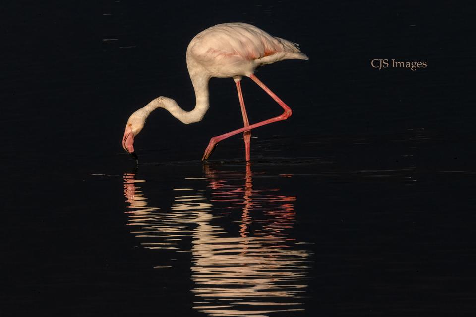 Single Flamingo On Lake