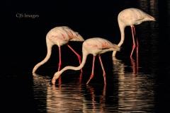 Early Morning Flamingos