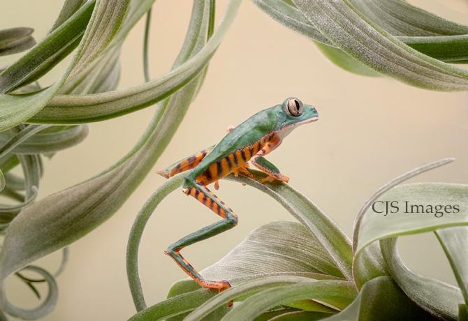 Tiger-legged Frog