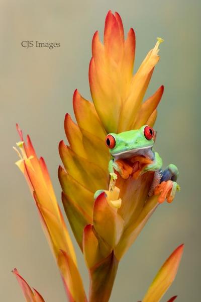 Red-Eye Frog