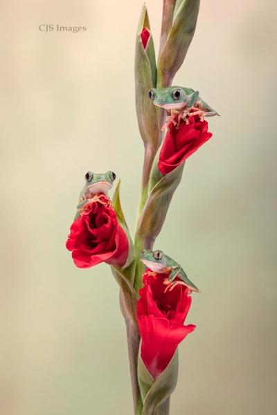 Three Tiger-leg Frogs