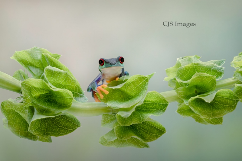Purple Red-eye Frog