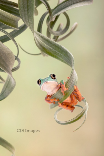 Tiger-leg Frog