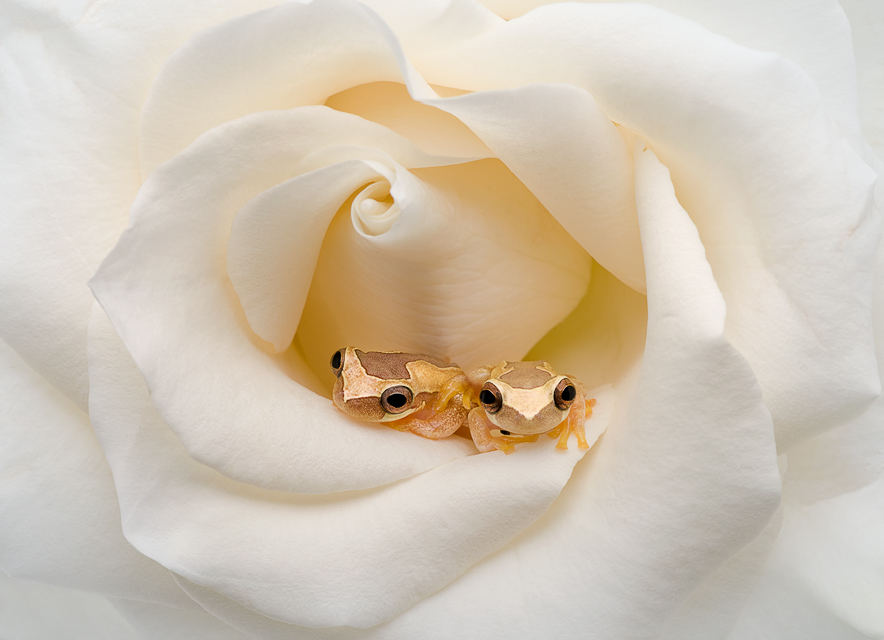 Two Frogs In A Rose