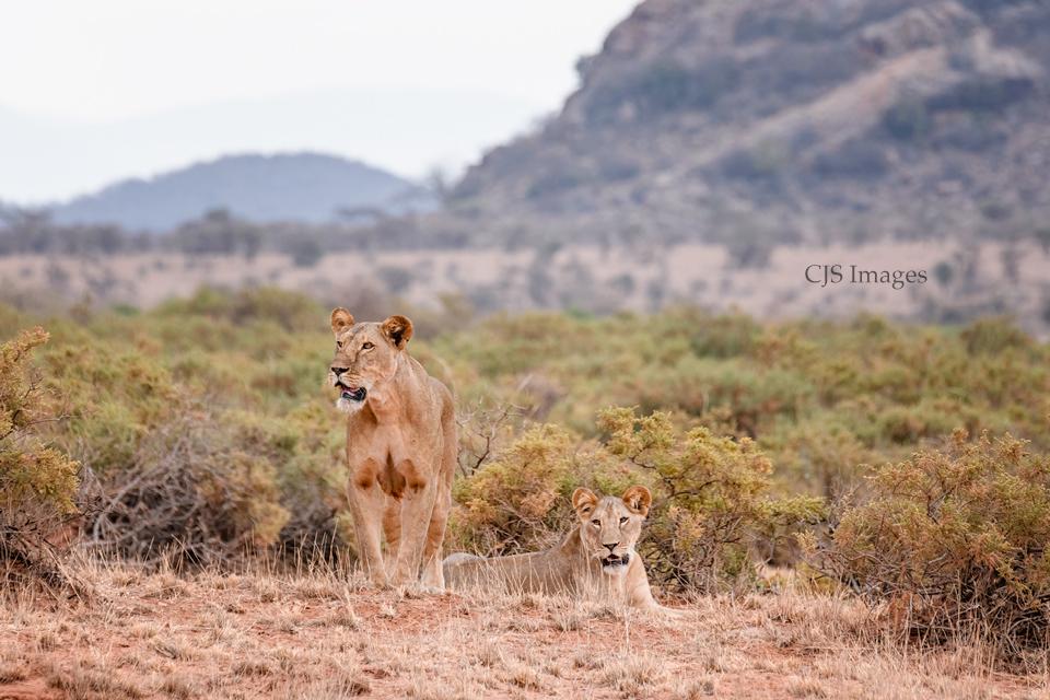 Momma-Lion-Cub-sig.jpg