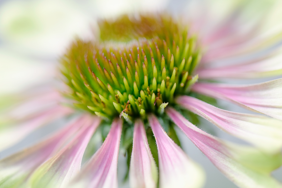 CONEFLOWER FLOURISH