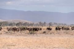 Juvenile Ostrich Flock