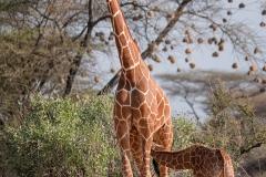 Nursing Giraffe