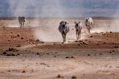 Dusty Zebras