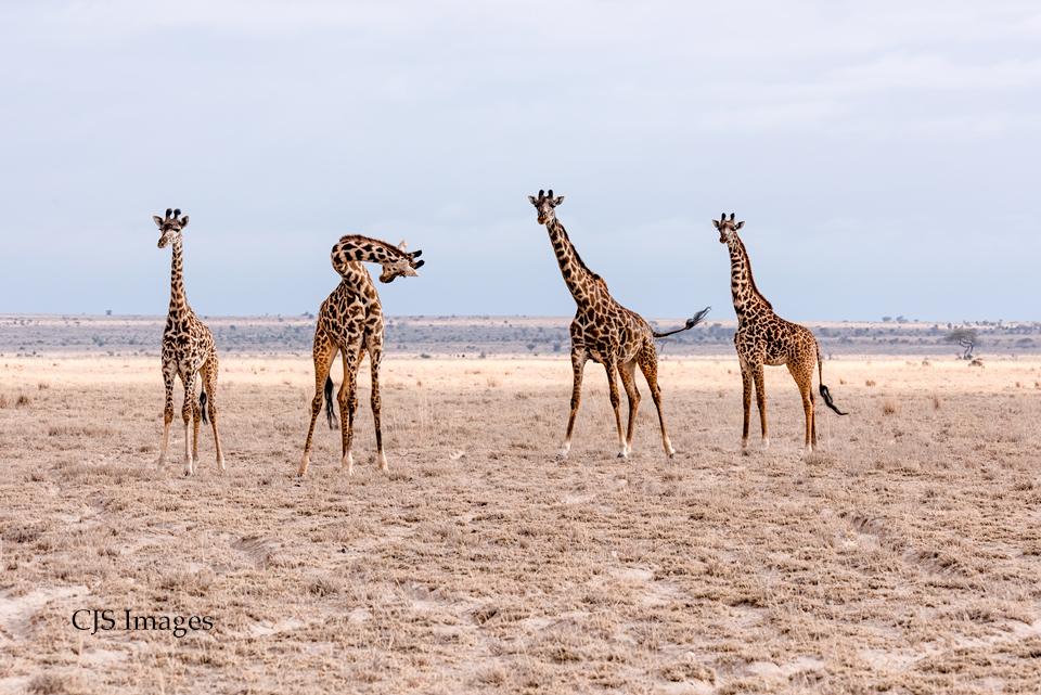Curious-Giraffes-sig.jpg