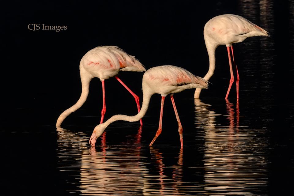 Flamingos-am-Lake-sig.jpg