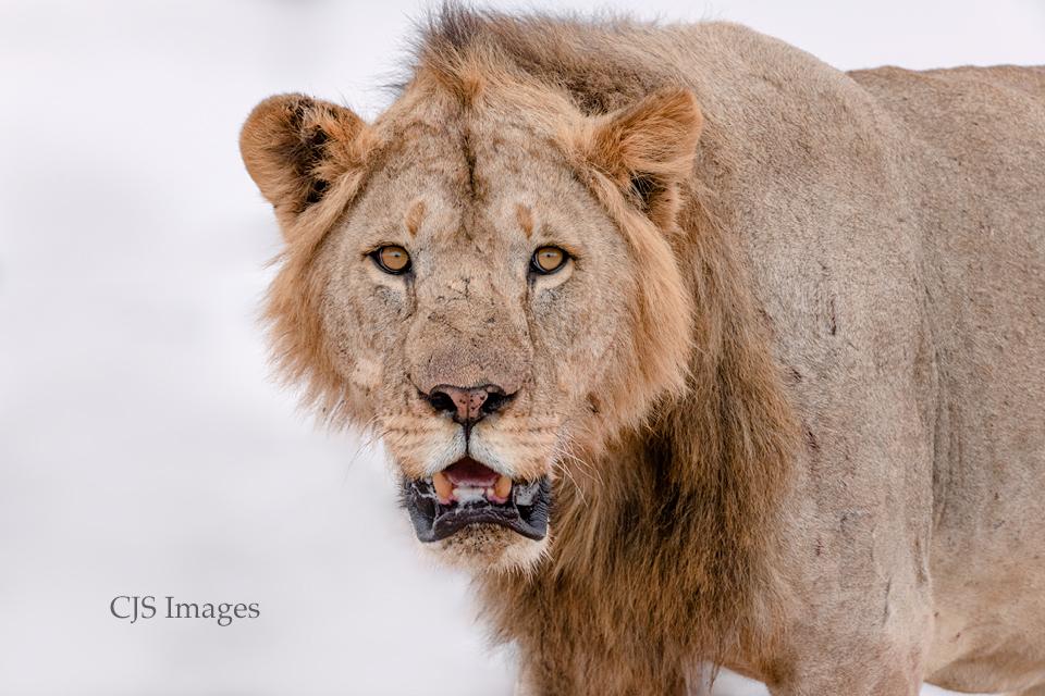 Lion-On-White-sig.jpg